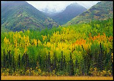 Mountain sloppes with aspens in different stages of autumn colors. Wrangell-St Elias National Park ( color)