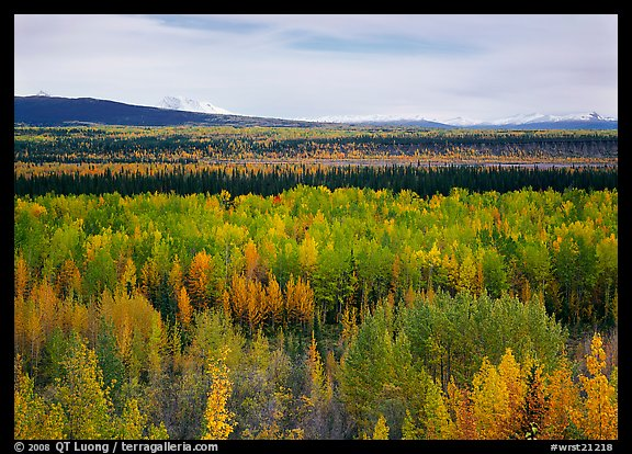 Flat valley with aspen trees in fall colors. Wrangell-St Elias National Park (color)