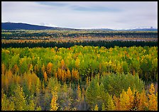 Flat valley with aspen trees in fall colors. Wrangell-St Elias National Park, Alaska, USA. (color)