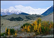 Trees in fall colors, moraines, and Mt Blackburn. Wrangell-St Elias National Park, Alaska, USA. (color)