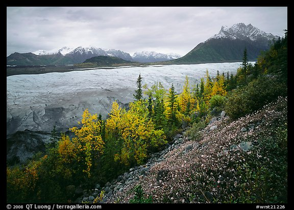 Late wildflowers, trees in autumn colors, and Root Glacier. Wrangell-St Elias National Park (color)