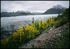 Late wildflowers, trees in autumn colors, and Root Glacier. Wrangell-St Elias National Park, Alaska, USA. (color)