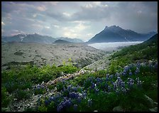 Lupine, Root Glacier, Mt Donohoe. Wrangell-St Elias National Park, Alaska, USA. (color)
