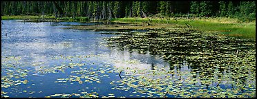 Pond with aquatic plants and reflections. Wrangell-St Elias National Park (Panoramic color)