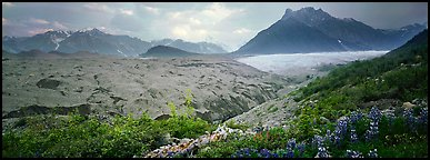 Lupines, moraine, and glacier. Wrangell-St Elias National Park (Panoramic color)
