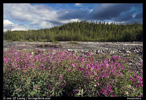 Fireweed along river. Wrangell-St Elias National Park (color)