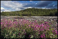 Fireweed along river. Wrangell-St Elias National Park, Alaska, USA.