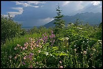 Wildflowers and mountains near Kennicott. Wrangell-St Elias National Park, Alaska, USA.