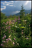 Variety of wildflowers near Kennicott. Wrangell-St Elias National Park ( color)