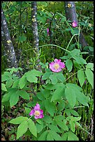 Wild Rose and tree trunks. Wrangell-St Elias National Park, Alaska, USA.