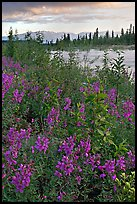 Fireweed near an arm of the Kennicott River, sunset. Wrangell-St Elias National Park, Alaska, USA.