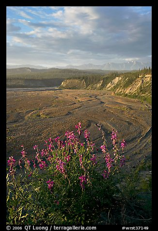 Fireweed, Kotsina river plain, and bluffs. Wrangell-St Elias National Park, Alaska, USA.