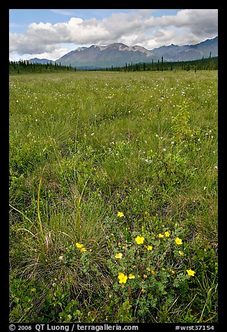 Meadow with tussocks and wildflowers. Wrangell-St Elias National Park (color)