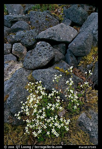 Alpine flowers and volcanic boulders. Wrangell-St Elias National Park (color)