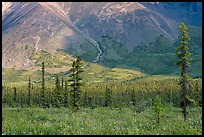 Meadow covered with white wildflowers, and spruce trees. Wrangell-St Elias National Park, Alaska, USA.