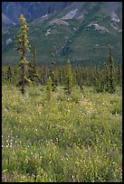 Wildflowers and spruce trees. Wrangell-St Elias National Park, Alaska, USA.
