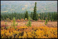 Autumn colors in the rain along Nabesna Road. Wrangell-St Elias National Park ( color)