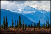 Spruce, tundra, Wrangell Mountains in autumn. Wrangell-St Elias National Park ( color)
