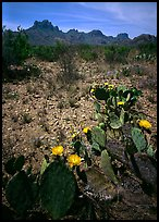 Prickly pear cactus with yellow blooms and Chisos Mountains. Big Bend National Park, Texas, USA. (color)