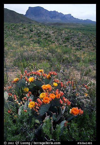 Cactus with multi-colored blooms and Chisos Mountains. Big Bend National Park, Texas, USA.
