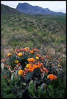 Cactus with multi-colored blooms and Chisos Mountains. Big Bend National Park, Texas, USA. (color)