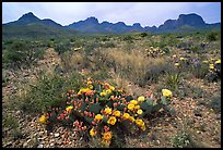 Colorful prickly pear cactus in bloom and Chisos Mountains. Big Bend National Park, Texas, USA.