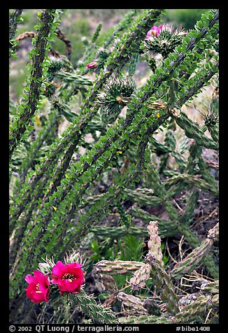 Occatillo and beavertail cactus in bloom. Big Bend National Park (color)