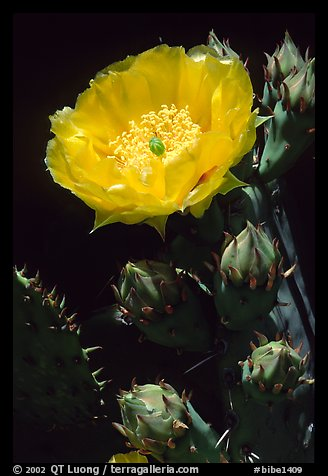 Pickly pear cactus flower. Big Bend National Park (color)