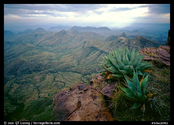 Agave plants overlooking desert mountains from South Rim. Big Bend National Park, Texas, USA.