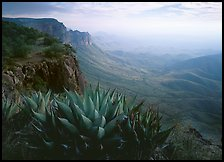 Agaves on South Rim, morning. Big Bend National Park, Texas, USA.