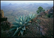Agaves on South Rim overlooking desert mountains. Big Bend National Park ( color)