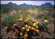 Colorful prickly pear cactus in bloom and Chisos Mountains. Big Bend National Park, Texas, USA. (color)