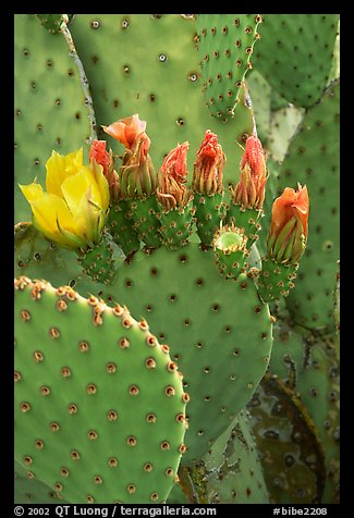Beavertail cactus in bloom. Big Bend National Park, Texas, USA.