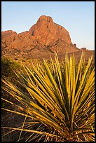 Sotol rosette and Chisos Mountains. Big Bend National Park ( color)