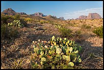 Cactus and Chisos Mountains. Big Bend National Park, Texas, USA. (color)