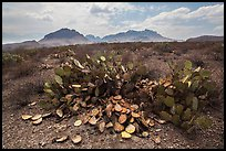 Desicatted cacti during desert drought. Big Bend National Park ( color)