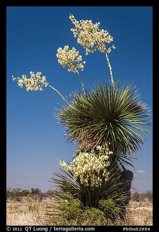 Yucca in bloom. Big Bend National Park (color)