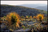 Yuccas at sunset on limestone bedrock. Carlsbad Caverns National Park, New Mexico, USA.