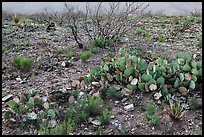 Wildflowers and cactus. Carlsbad Caverns National Park, New Mexico, USA. (color)