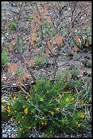 Wildflowers and shrubs. Carlsbad Caverns National Park ( color)