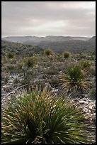 Yuccas, sky darkened by wildfires. Carlsbad Caverns National Park ( color)