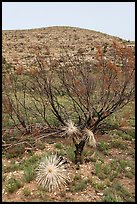 Burned yuccas and trees. Carlsbad Caverns National Park ( color)