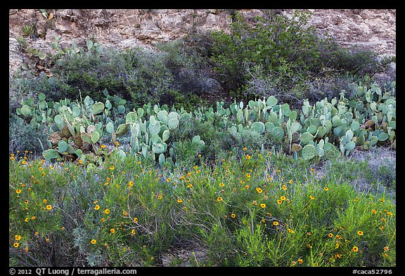 Wildflowers, prickly pear cactus, and rock wall. Carlsbad Caverns National Park (color)