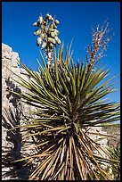 Yucca and cliff. Carlsbad Caverns National Park ( color)
