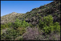 Green trees and shurbs below desert slopes. Carlsbad Caverns National Park, New Mexico, USA. (color)