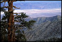 Bristlecone Pine tree near Telescope Peak. Death Valley National Park, California, USA. (color)