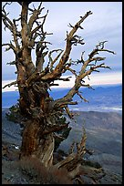 Bristlecone Pine tree near Telescope Peak. Death Valley National Park ( color)