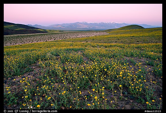 Desert Gold flowers and Panamint Range, Ashford Mill area, sunrise. Death Valley National Park (color)