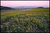 Desert Gold flowers and Panamint Range, Ashford Mill area, sunrise. Death Valley National Park, California, USA.