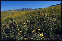 Slopes covered by thick Desert Gold flowers and mountains, Ashford Mill area, early morning. Death Valley National Park ( color)